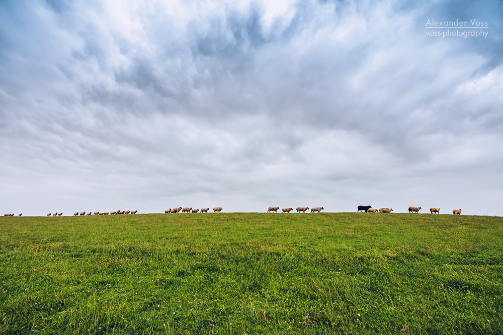 East Frisia – Sheep on the Dike